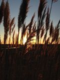 Sunlit Phragmites Grass during Sunset. Sunlit Phragmites Grass during Sunset at Lincoln Park in Jersey City, NJ Royalty Free Stock Images