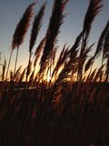 Sunlit Phragmites Grass during Sunset. Royalty Free Stock Photos