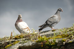 Sunlit Pigeons Sitting on Wall Royalty Free Stock Photo