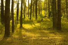 Sunlit pine forest Royalty Free Stock Image