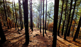 Sunlit pine forest Royalty Free Stock Photography