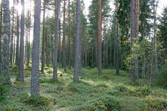Sunlit pine forest with green shrub Stock Photos