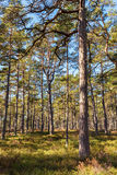 Sunlit pine forest in Scandinavia. Royalty Free Stock Image
