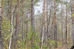 Sunlit pine Forest in the swamp.  Royalty Free Stock Photography