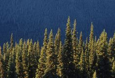 Sunlit pine trees Royalty Free Stock Images