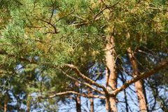 Sunlit pine trees. Summer forest landscape. Horizontal Royalty Free Stock Photo