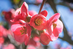 Sunlit  pink Chaenomeles shrub in bloom Stock Photos