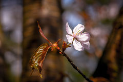 Sunlit pink cherry flower Royalty Free Stock Images