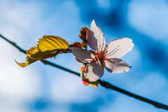 Sunlit pink cherry flower Royalty Free Stock Photos
