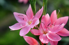 Sunlit Pink Flowers. Colourful pink flowers in summer royalty free stock image