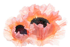 Sunlit Pink Poppies. This is a high key image of  beautiful sunlit pink poppies with exotic ruffled petals Stock Images