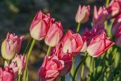 Sunlit pink tulips Royalty Free Stock Photos