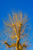 Sunlit poplar tree at the autumn sunset Stock Image