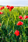 Sunlit poppies Stock Images