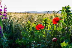 Sunlit poppies Royalty Free Stock Photo