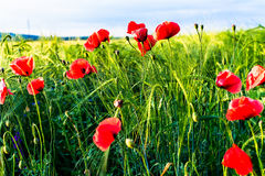 Sunlit poppies Royalty Free Stock Image