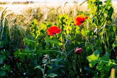 Sunlit poppies Royalty Free Stock Images