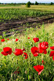Sunlit poppies Royalty Free Stock Photos