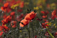 Sunlit Poppy. Poppies are sunlit by the morning sun Stock Photo