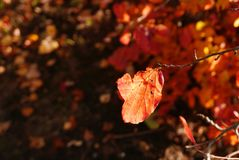 Sunlit red leaf against shadowed bushes. Sunlit red, autumn leaf shown against shadowed bushes showing its veins Royalty Free Stock Photo