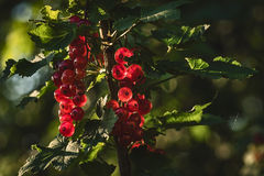Sunlit red currant berries. Ripe red currant in the garden Stock Photos