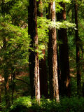 Sunlit redwoods Royalty Free Stock Photo