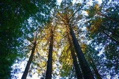 sunlit redwoodträd Arkivbilder
