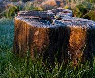 Sunlit rimy stump. The first frost in the morning Stock Photos