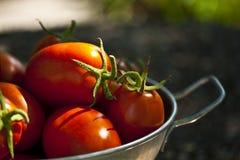 Sunlit ripe tomatoes Stock Photo