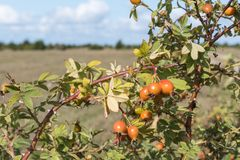 Sunlit rosehip berries. Sunlit almost ripe rosehip berries on a branch outdoors in a landscape Royalty Free Stock Photography