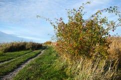 Sunlit rosehip shrub Stock Images