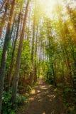 sunlit skog Arkivbilder