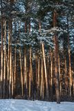 Sunlit snow-covered pine forest in sunny day . Stock Photo