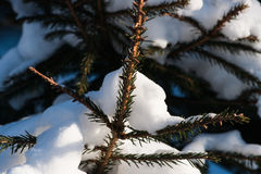 Sunlit snow covered spruce tree with dark green needles Royalty Free Stock Photography