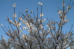 Sunlit Snow Covered Tree Branches Royalty Free Stock Photo