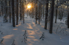 Sunlit in snowy forest. Sunset - sunrise in snowy forest in Lapland, Finland Stock Photo