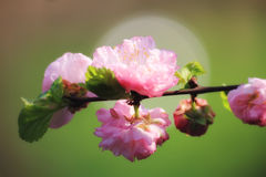 Sunlit soft focus brunch with pink almond flowers. (Amygdalus triloba or Prunus triloba) on a green background Royalty Free Stock Photography