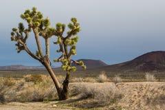 Solitary Joshua tree standing tall in the Mojave desert Stock Image
