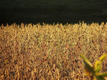 Sunlit Soybeans Royalty Free Stock Photos