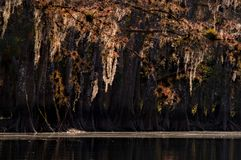Sunlit spanish moss and native bromeliads hang from bald cypress stock photo