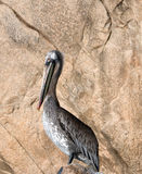 Sunlit speckle colored Pelican proudly perching on Los Arcos rocks at Lands End in Cabo San Lucas Baja Mexico Royalty Free Stock Photo