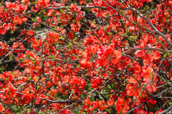 Sunlit spring flowering Japanese quince bush Royalty Free Stock Photos