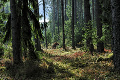 Sunlit spruce tree forest Royalty Free Stock Photos