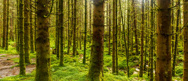 Sunlit spruce tree forest. Sunlit wet spruce tree forest, green background stock photography