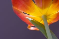 Sunlit tulip. With deep blue background Royalty Free Stock Image