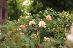 Sunlit, vanilla roses on a flowering bush. Beautiful roses bush in garden. stock photography