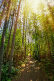 Sunlit Wald Stockbilder