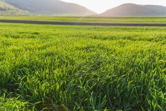 Sunlit Wheat Grass field. Sunlit Green agricultural field in spring. Long blades of green wheat grass in early Spring Royalty Free Stock Photo