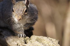 Sunlit Whiskers, Grey Squirrel Royalty Free Stock Photos