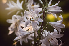 Sunlit white lily flowers. White lily flowers Lilium candidum on three stems on blurred  background Royalty Free Stock Photography